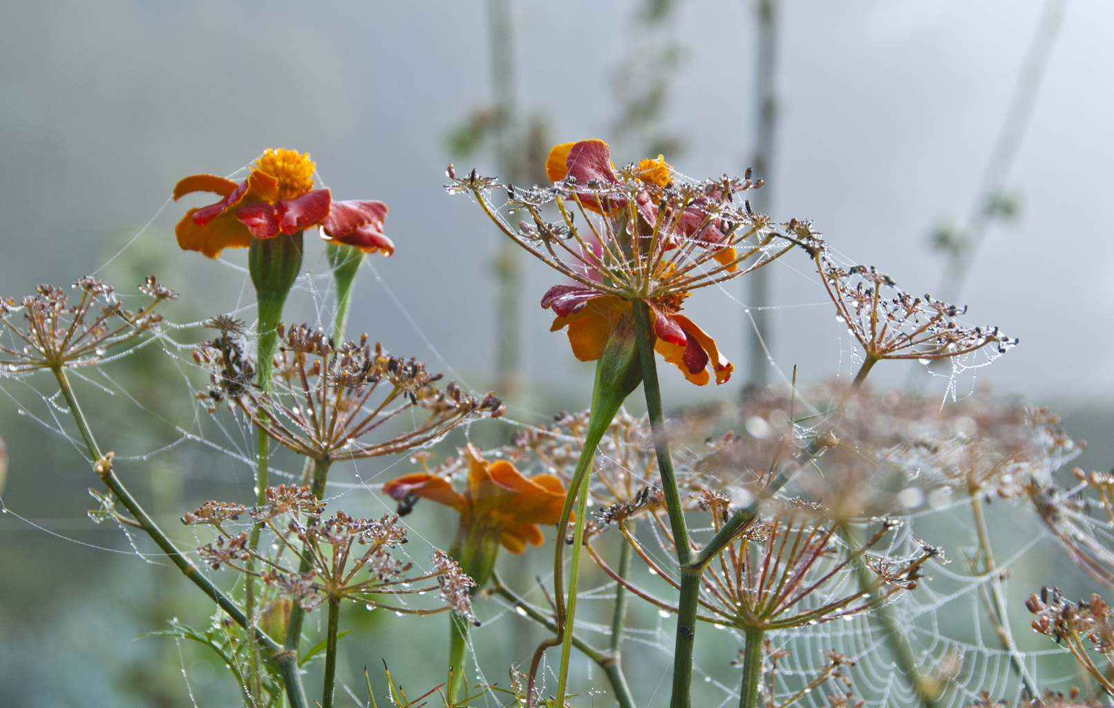 Tagetes at Great Dixter in October by Carol Casselden